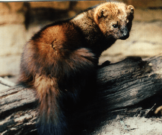 Lost Pet Research & Recovery Fisher Cat Screech - Lost Pet Research
