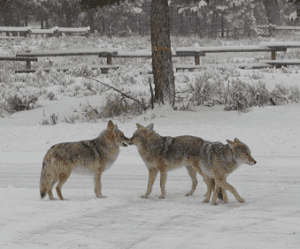 Coyote Pack in Yellowstone National Park