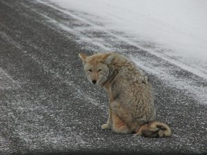 Observations of Coyote Predation on Cats - Lost Pet Research