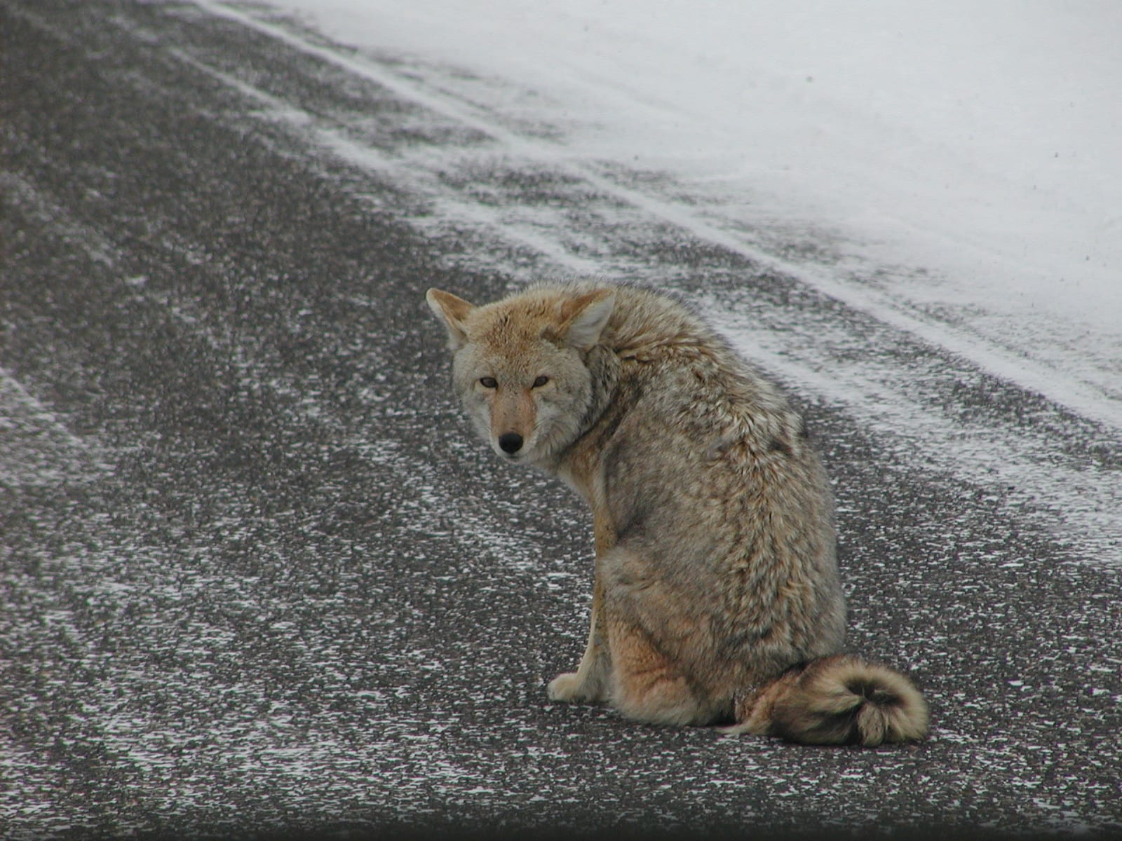 Observations of Coyote Predation on Cats - Lost Pet ...