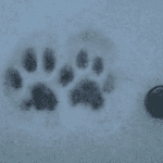 Cat tracks in shallow snow.