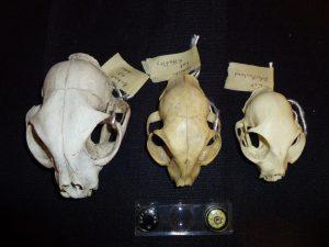 Bobcat (left) and cat skulls