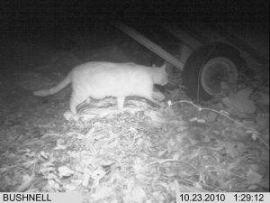 This cat was caught on camera at a feeding station prior to setting up a trap. He was trapped the following night.