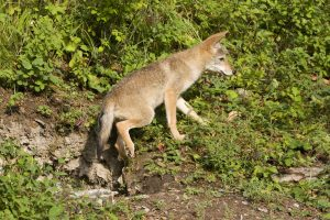 Coyote pup exiting a well concealed den.