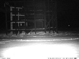 Lost dog caught on wireless wildlife camera entering an enclosure trap.