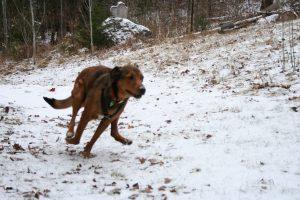 Running Dog - Morgue File