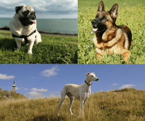 Pugs, German Shepherds and Greyhounds Scent Discrimination Test
