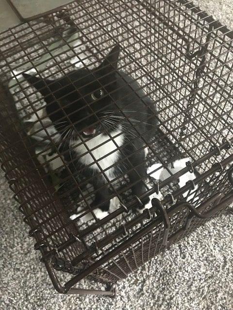Cat caught in tru catch cat trap