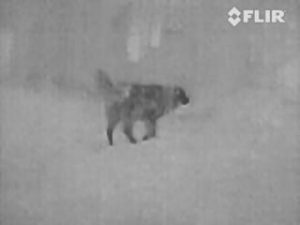 Dog with thermal image camera at night