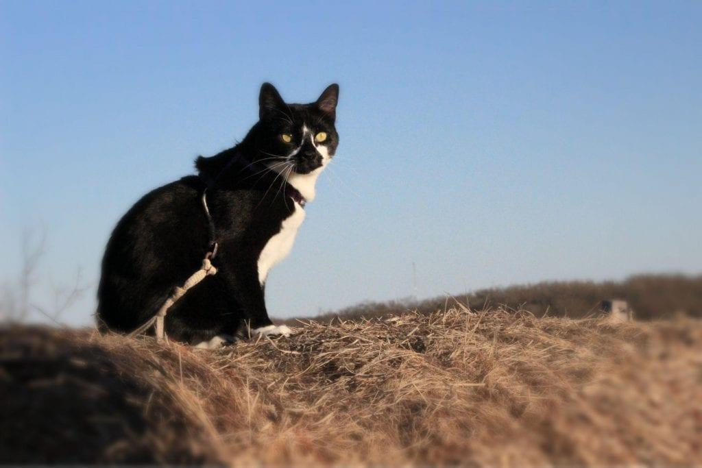 Cat walking on leash