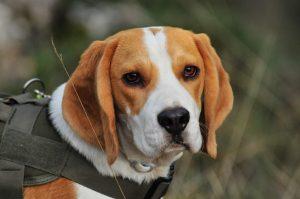 Beagle scent dog
